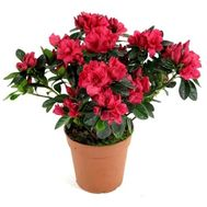 Azalea - flowers and bouquets on vambuket.com