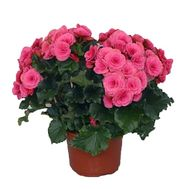 Begonia - flowers and bouquets on vambuket.com