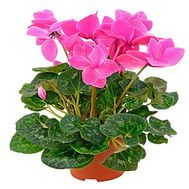 Cyclamen - flowers and bouquets on vambuket.com