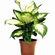 Dieffenbachia - flowers and bouquets on vambuket.com