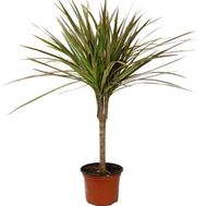 Dracaena - flowers and bouquets on vambuket.com