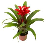 Guzmania - flowers and bouquets on vambuket.com