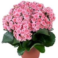 Kalanchoe - flowers and bouquets on vambuket.com