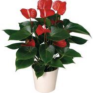 Buy Anthurium - flowers and bouquets on vambuket.com