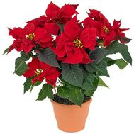 Poinsetia (Christmas Star) - flowers and bouquets on vambuket.com