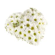 11 chrysanthemums - flowers and bouquets on vambuket.com