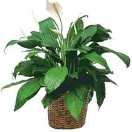 Spathiphyllum (Female happiness) - flowers and bouquets on vambuket.com