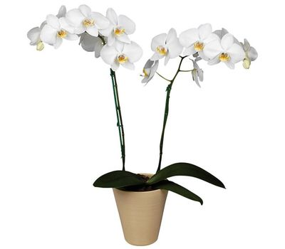 """""""Phalaenopsis white orchid (2 branches)"""" in the online flower shop vambuket.com"""