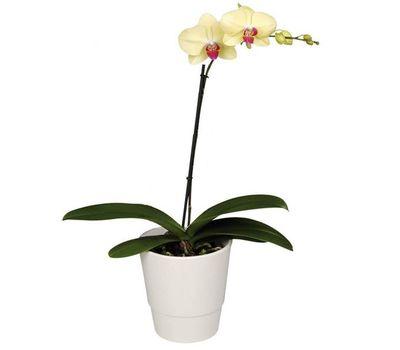 """""""Орхидея желтого цвета (1 ветка)"""" в интернет-магазине цветов vambuket.com"""