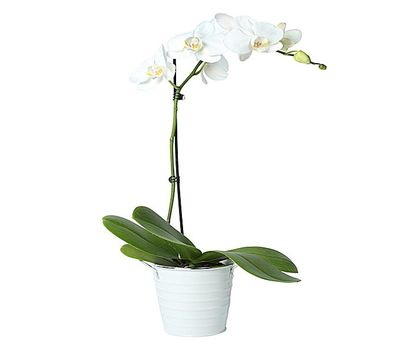 """White phalaenopsis orchid (1 branch)"" in the online flower shop vambuket.com"