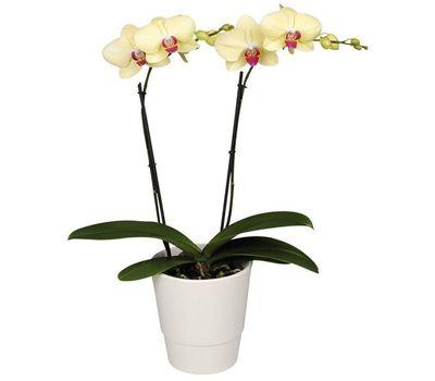 """""""Орхидея фаленопсис желтого цвета (2 ветки)"""" в интернет-магазине цветов vambuket.com"""