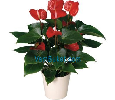 """Buy Anthurium"" in the online flower shop vambuket.com"