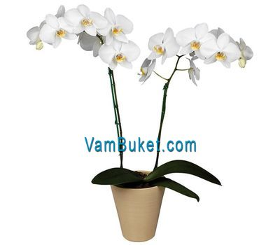 """Phalaenopsis white orchid (2 branches)"" in the online flower shop vambuket.com"