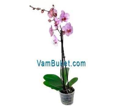 """Houseplant Orchid phalaenopsis"" in the online flower shop vambuket.com"
