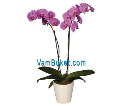 """Phalaenopsis orchid (2 branches)"" in the online flower shop vambuket.com"