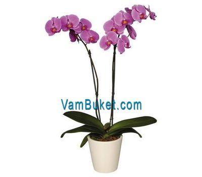 """Орхидея фаленопсис (2 ветки)"" в интернет-магазине цветов vambuket.com"