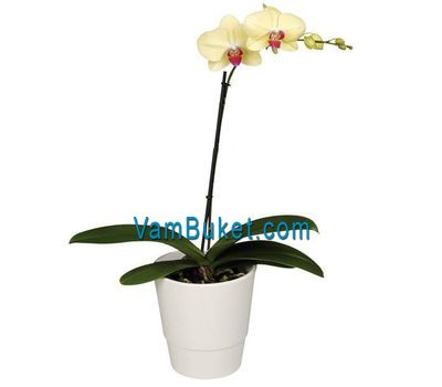 """Yellow orchid (1 branch)"" in the online flower shop vambuket.com"
