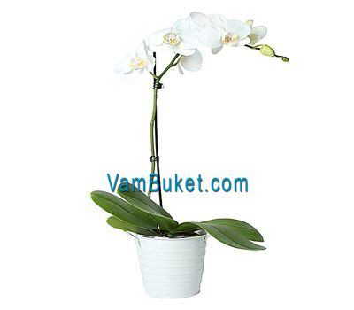 """""""Орхидея фаленопсис белого цвета (1 ветка)"""" в интернет-магазине цветов vambuket.com"""