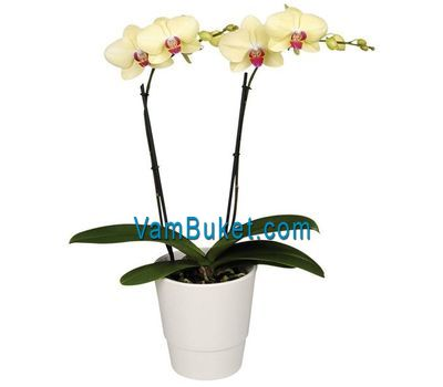 """Phalaenopsis orchid yellow in color (2 branches)"" in the online flower shop vambuket.com"