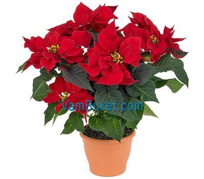"""""""Пуансетия (Рождественская звезда)"""" в интернет-магазине цветов vambuket.com"""