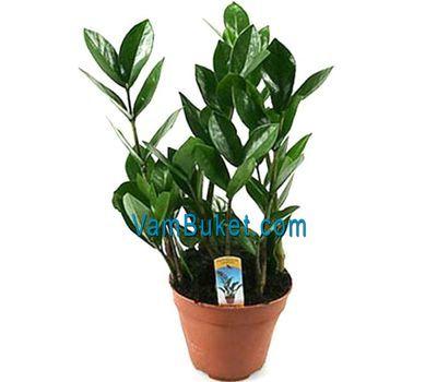 """""""Замиокулькас (долларовое дерево)"""" в интернет-магазине цветов vambuket.com"""